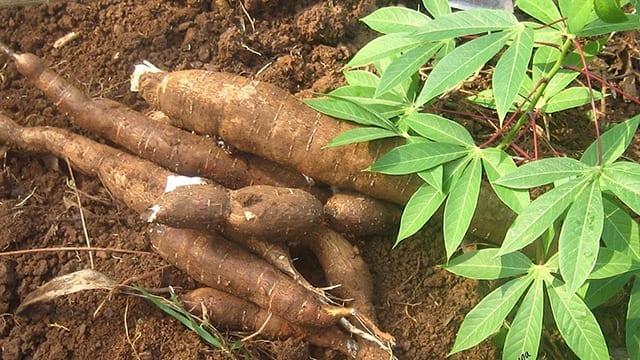 GAEC secures funding to develop disease-tolerant cassava. 46