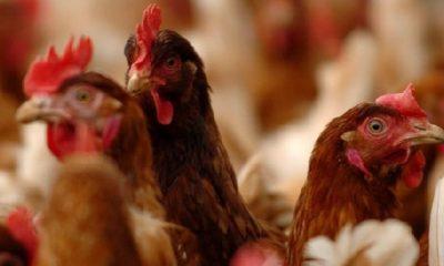 Bird Flu: Four thousand birds kills in Atwima Kwawoma. 57