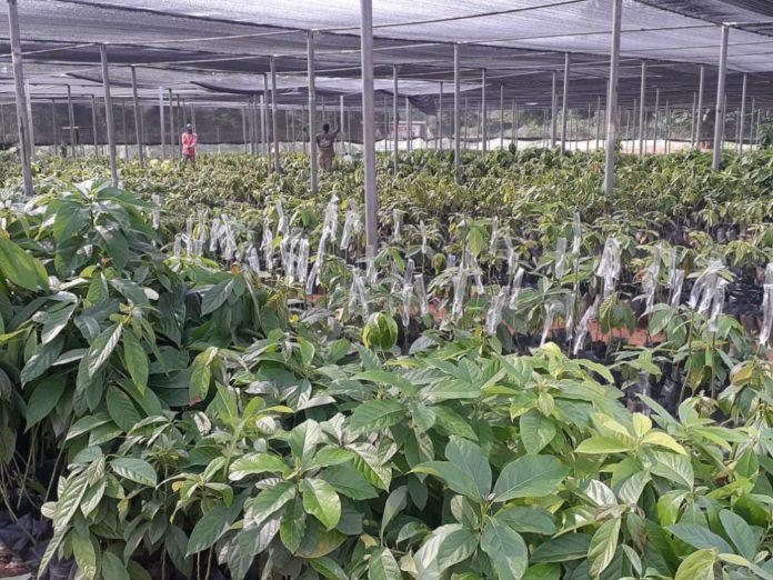 1D1F: Akuapem Gold set to begin processing of avocado oil in September. 46