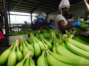 Ghana's biggest banana plantation employs 3000 people. 46